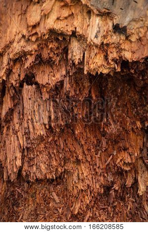 Bright colorful red wood is breaking into hair-like fibres as it decays ad rots
