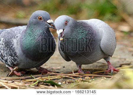 A pair of beautiful feral Pigeons feeding in an urban garden