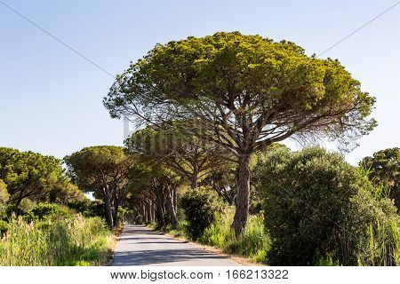 View of a pine tree avenue in the tuscan region Maremma in Italy