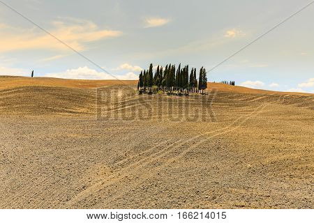 View Of A Cypress Tree Group In The Tuscan Region San Quirico D Orcia In Italy