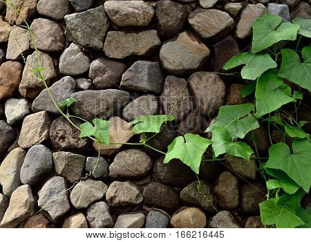 Climbing plant on wall with stone cladding