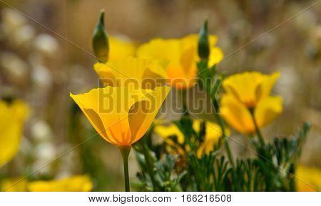 Beautiful orange poppies in the meadow, eschscholzia californica