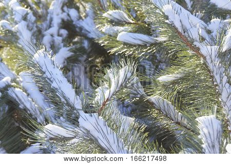 background of fir branches covered with snow.