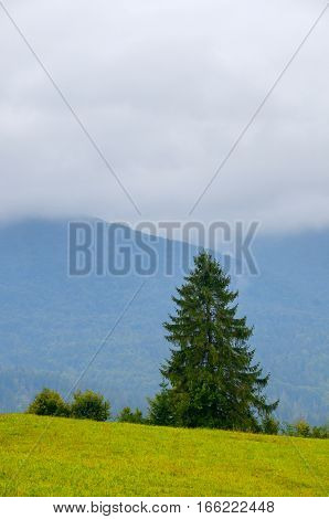 Summer lonely spruce and cloudy blue sky mountain landscape in Carpathians, Ukraine