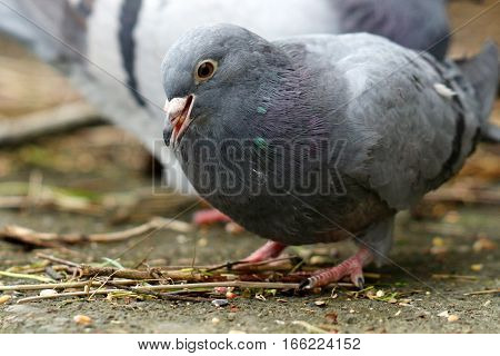 A juvenile feral Pigeon picking up seeds