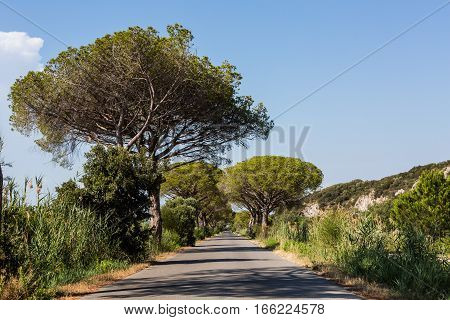 Pine Tree Avenue In The Tuscan Region Maremma In Italy