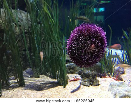 Sea purple urchin. Invertebrate and with spikes. Spain