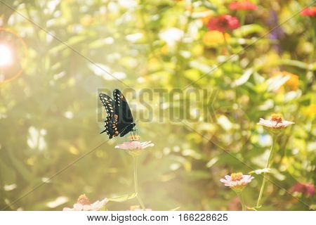 Black Swallowtail (Papilio polyxenes) sitting on a flower.