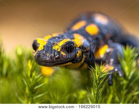 Close Up Of Fire Salamander Newt In Its Natural Habitat