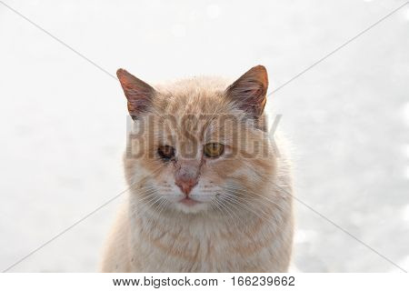 Portrait of an orange diluted ginger tabby stray one eye missing necrotic tissue with yellow exudate inside the socket