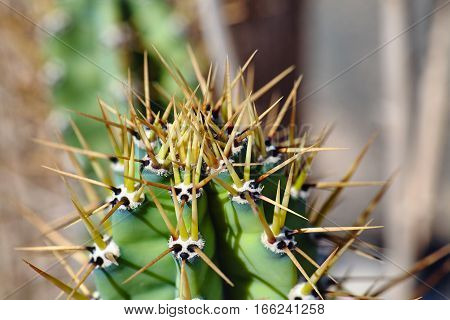 Beautiful cactus with large needles, shot at close range