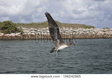 Immature Brown Pelican Flying over Boca Raton Inlet