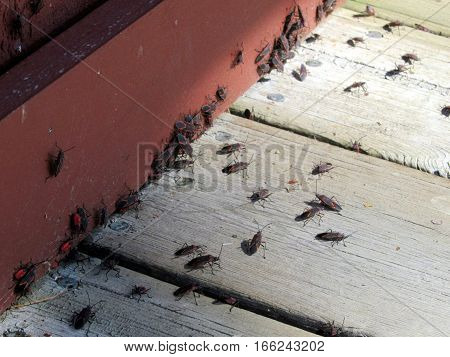 swarm of box elder bugs in the fall