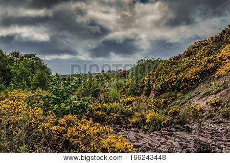 Dunbeath Scotland - June 4 2012: Nasty threatening dark thunder skies over a dry brown rocky creek bed with plenty of wild yellow broom flowers at its slopes. Green vegetation.