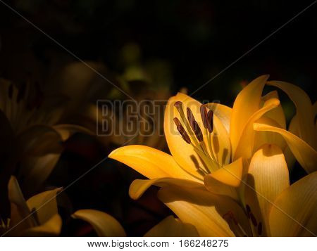 Low key abstract closeup macro photo of yellow lily in low key tone with copy space Focus on pollen