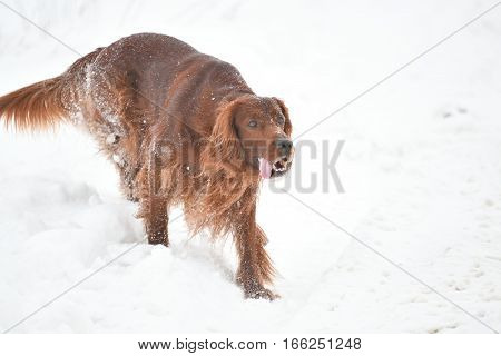 Dog Breed Irish Red Setter