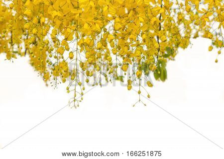 yellow flowers hanging down on white background