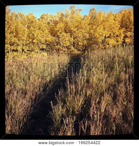 Autumn field landscape with black frame. Closeup of field grass and bright golden yellow trees with clear blue sky background and walking trail through tall grass in foreground. Instagram effects.