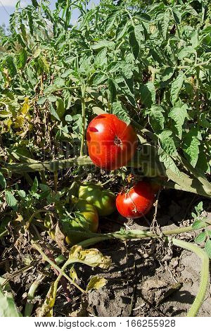 Ripe and unripe tomatoes on branches in vegetable garden