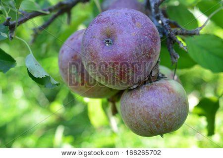 Apple Farm Orchards