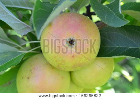 Nh Apple Orchard