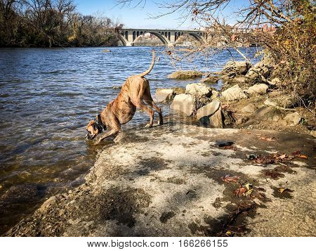 boxer dog drinks out of Potomac River in Maryland