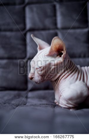 Bambino is sitting on a sofa. He is a breed of cat that was created as a cross between the Sphynx and the Munchkin breeds.