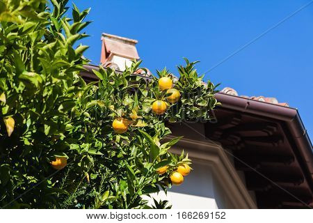 Tangerine tree and old roof in Italy
