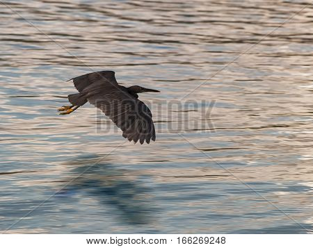 Black Bird fly over sea and reflect in water