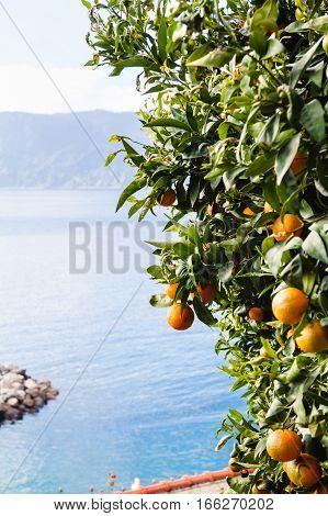 Tangerine Tree On The Seashore Of Liguria, Italy.