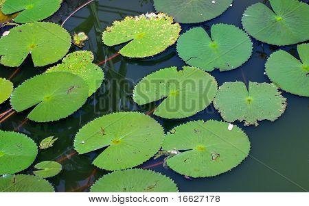 Macro of green leaves in water