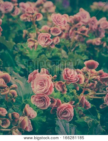 Beautiful Red Tuberous begonias in garden. Vintage filtered effect image