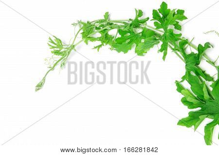 the green creeping plant on white background