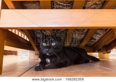Black and white domestic cat hides under bed
