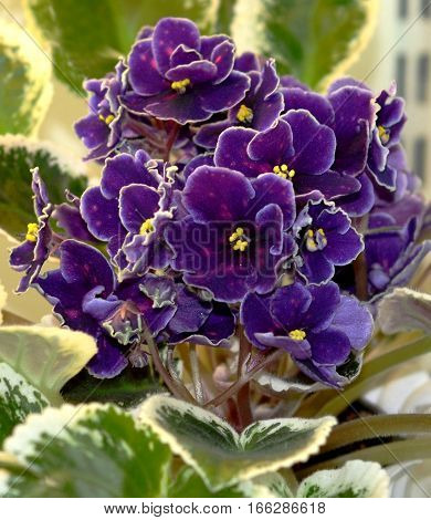 Collectible African violet