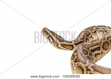 Reticulated Python or Boa isolate on white background with clipping path
