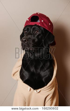 dog, labrador, puppy, dog sweater, pet, favorite pet, animal, black, sweater, cap, dog wearing a cap