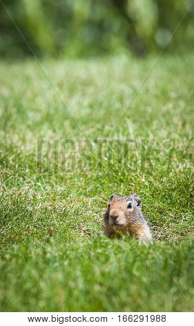 An inquisitive ground squirrel at the entrance to his burrow on a grassy bank on a sunny day.