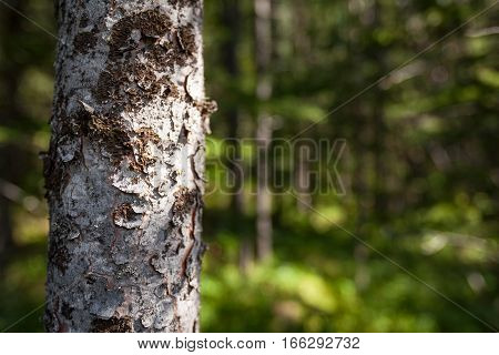 Close detail on the trunk of a silver birch with defocussed forest in background providing copy space.