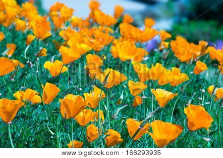 Close Up California Poppy  Or Golden Poppy  - Tungsten Style