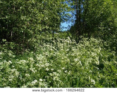 Thickets goutweed in forest glade in summer sunny day