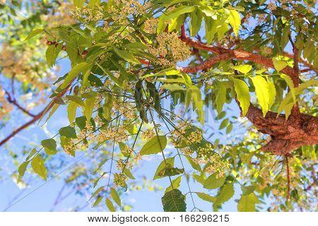 Neem tree, neem flower, A bitter taste