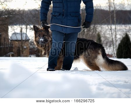 The owner walking a large dog. Winter shepherd muzzle in the snow