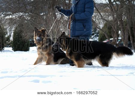 The owner walking large dogs. Winter dogs in the snow
