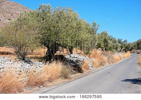 Country road cutting through the olive groves in the Greek countryside near Elounda Crete Greece Europe.