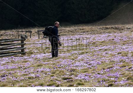 CHOCHOLOWSKA VALLEY, POLAND - MARCH 31, 2016: A photographer and a lot of crocuses on the meadow. Chocholowska Valley Poland