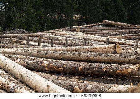 Sawn Long pine logs of different sizes lies on a ground.