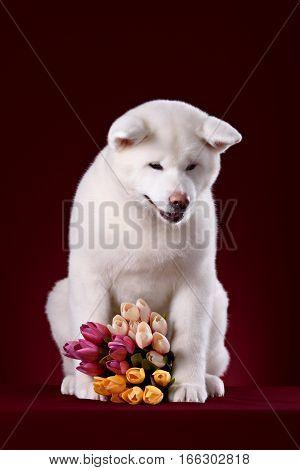 Beautiful Akita Inu puppy and flower in studio
