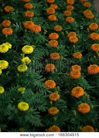 COLOR PHOTO OF FIELD OF TAGETES, MARIGOLD