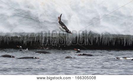 Gentoo Penguin jump from iceberg in Antarcdtica